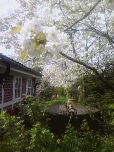 Hinterm Schleusenwärterhäuschen: ein Himmel voller Kirschblüten so weit das Auge reicht.
