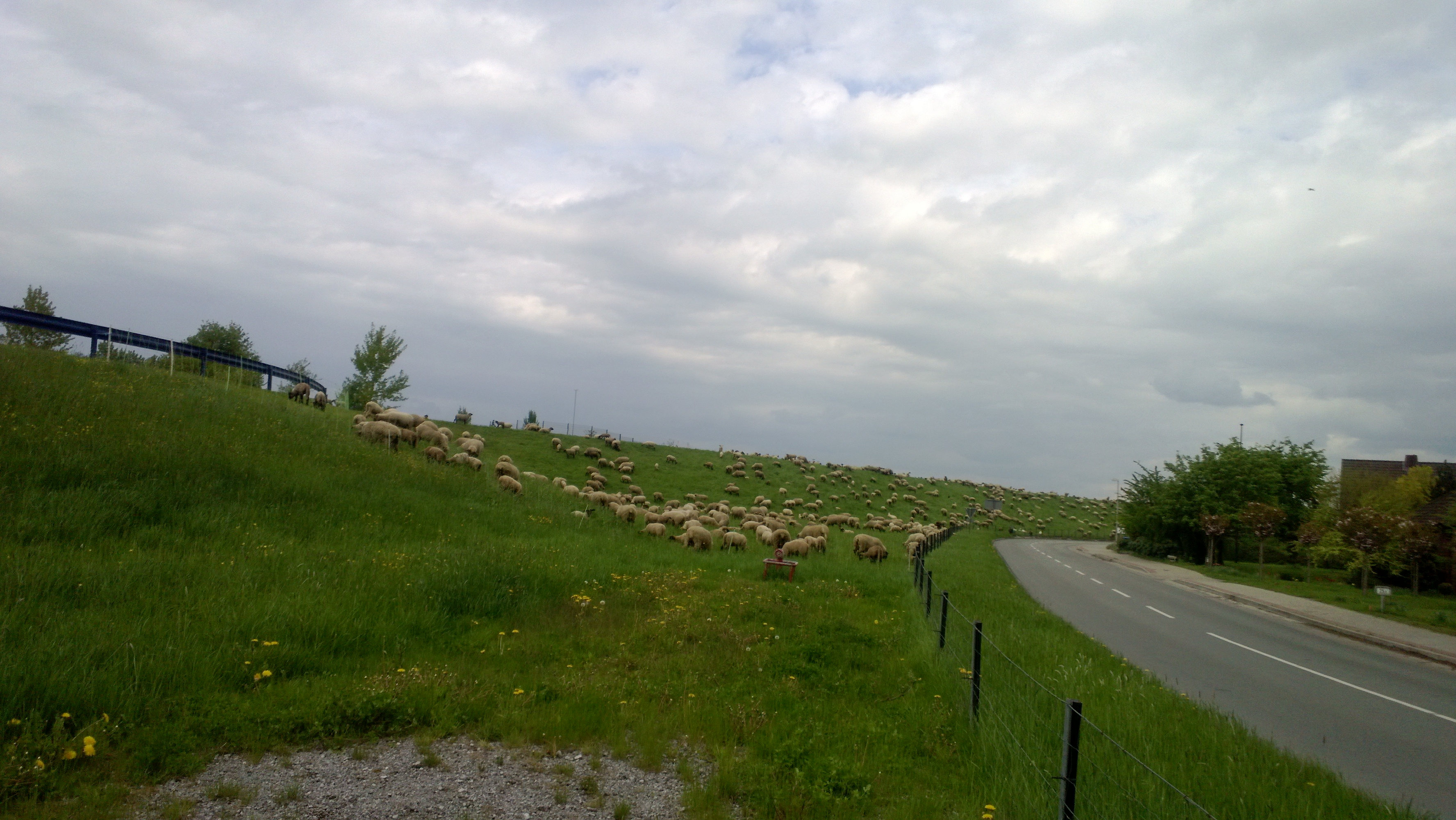 A flock of sheeps on the dike of the Elbe river. (Click to enlarge!)