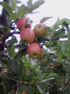 Rote Äpfel an Plantagenbäumen