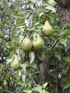 Birnen am Baum im Garten vom Alten Schleusenwärterhäuschen